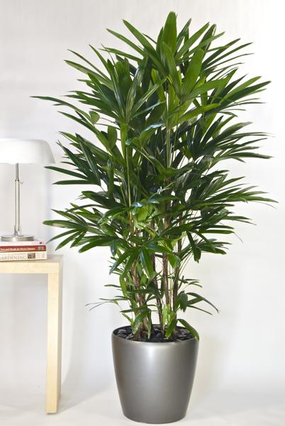 Lady leaf palm