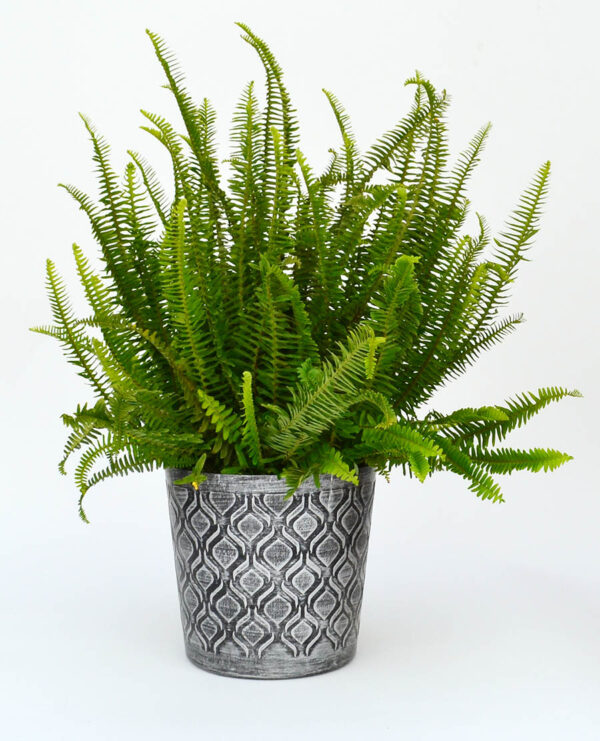 Fern to clean air